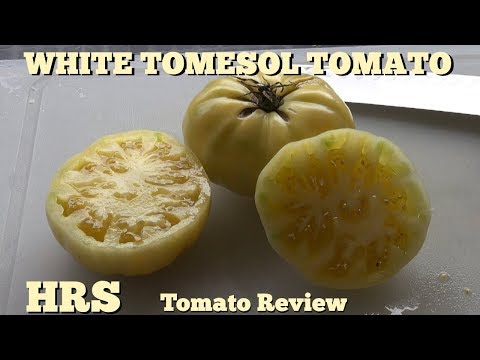⟹-white-tomesol-tomato-|-solanum-lycopersicum-|-tomato-review