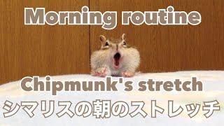 シマリスの朝のストレッチ/ Chipmunk's morning stretch thumbnail