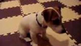 ジャックラッセルテリアの子犬のアリスは待てはできるが、「よし」がま...