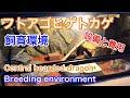フトアゴヒゲトカゲ 飼育環境 設備と費用  Central bearded dragon, Breeding enviro…
