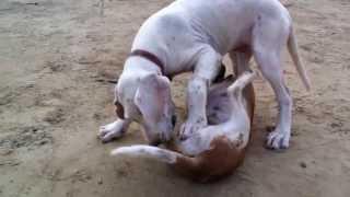 Pakistani Bully Kutta_ Zoro_ 4 Month Old Pup Playing With Beagle