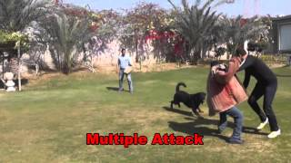 Rottweiler-protection Course Dog Training In Egypt