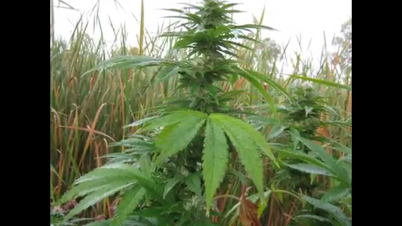 Outdoor marijuana grow 2011 season youtube outdoor marijuana grow 2011 season aloadofball Choice Image