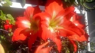 #250.гиппеаструм,пересаживаю, скоро будет цвести