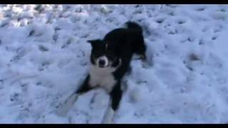 Bo, our Border Collie, playing in the snow!