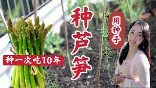 【种植38】种一次吃10年的芦笋种植出苗率100%催芽、育苗、选址、基肥、移栽定植 | How to grow asparagus from seeds