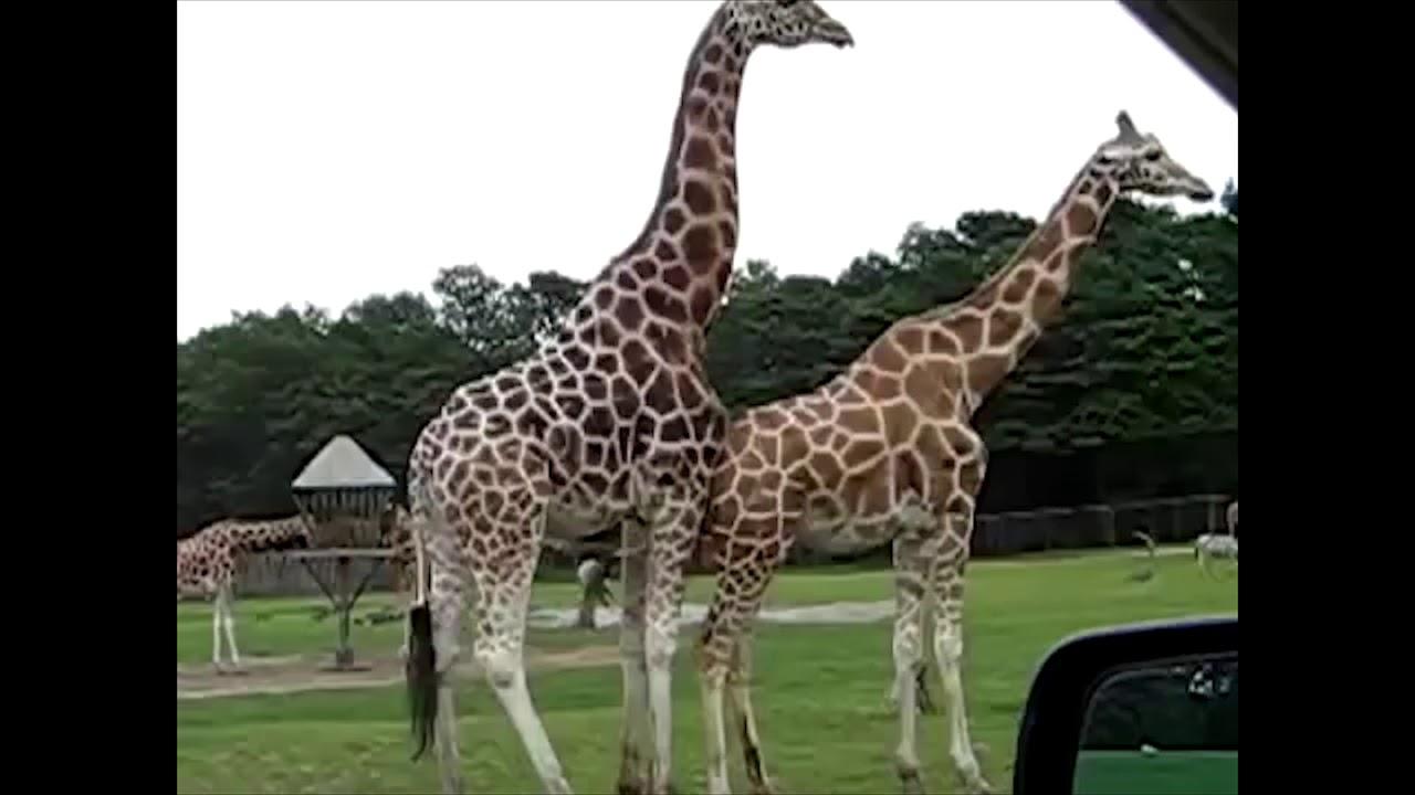 Giraffe mating (GONE WRONG) - YouTube  Giraffe mating ...