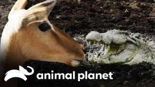 Crocodilo gigante ataca Impala!   África Selvagem: Rios   Animal Planet Brasil