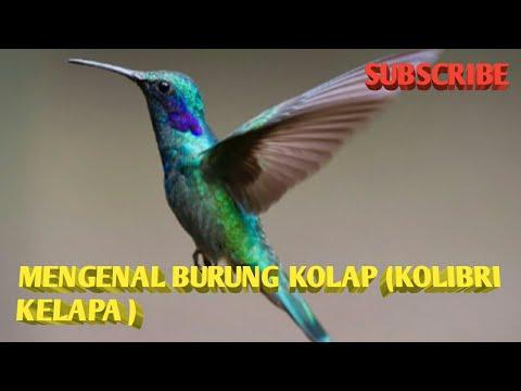 Burung Kolap  Kolibri Kelapa
