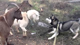 Встреча собаки породы хаски с козой