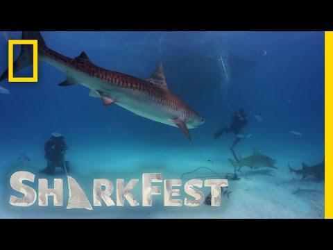 Tiger Shark Attack | SharkFest