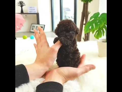 Hershey The Micro Chocolate Poodle