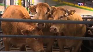 Crise des éleveurs   les prix continuent de baisser au marché bestial de Cholet
