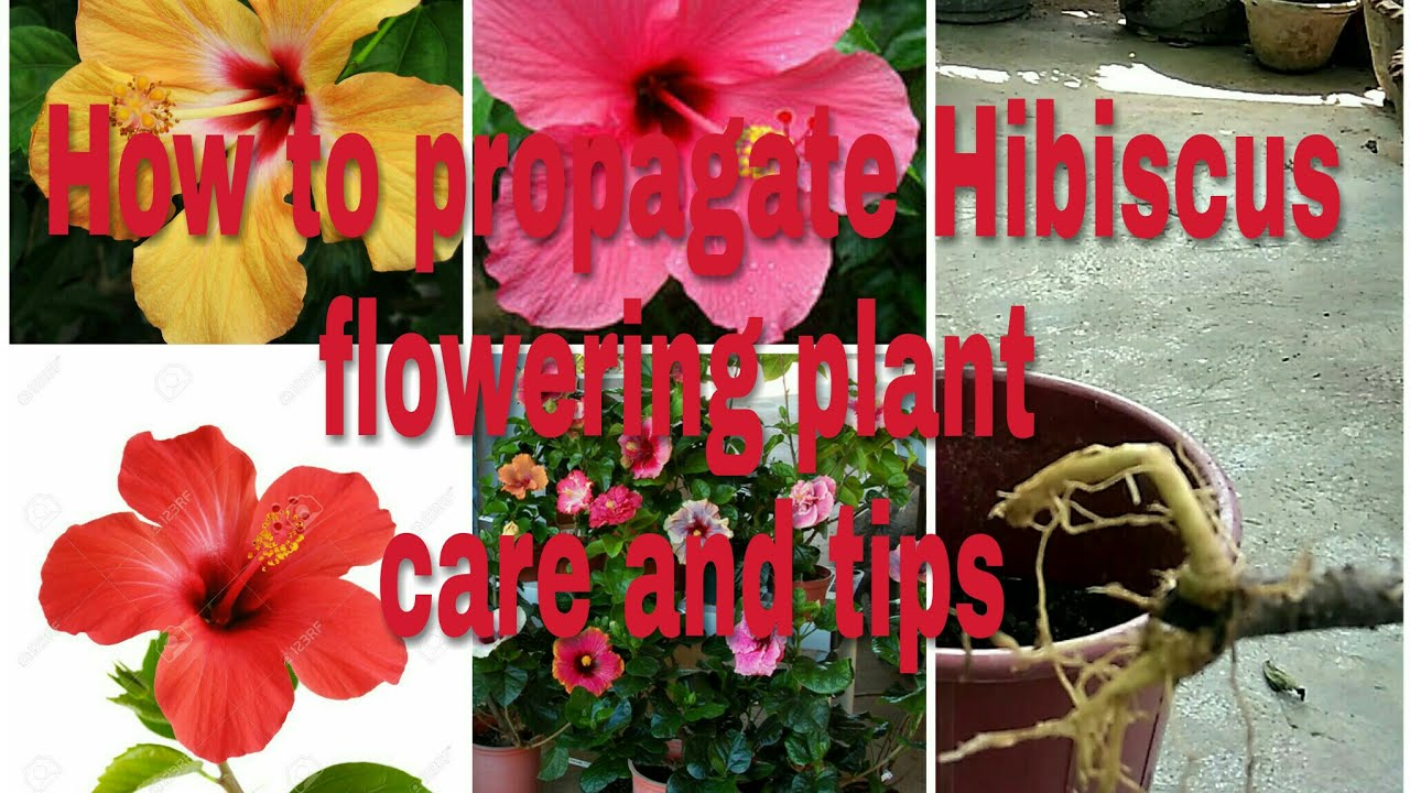 How to propagate hibiscus flower plant in hindi youtube how to propagate hibiscus flower plant in hindi izmirmasajfo