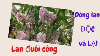 Lan Đuôi công dành cho những ai yêu thích hoa lan LẠ và ĐỘC [ Mai Huy ]