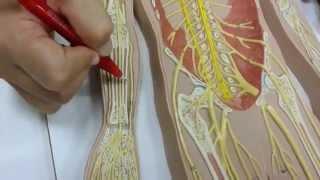 Cutâneo femoral medial nervo dor no