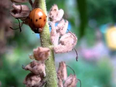 ants-tending-their-aphid-herds-(while-a-ladybird-looks-on)