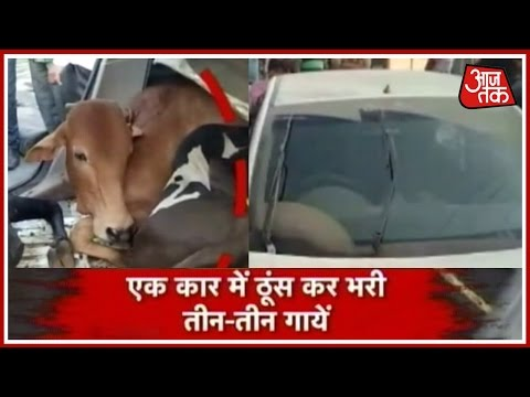 Three Cows Recovered From A Car, After An accident In Thane