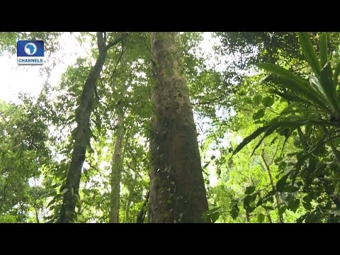 Eco@Africa: Africa's Tallest Tree Discovered In Tanzania