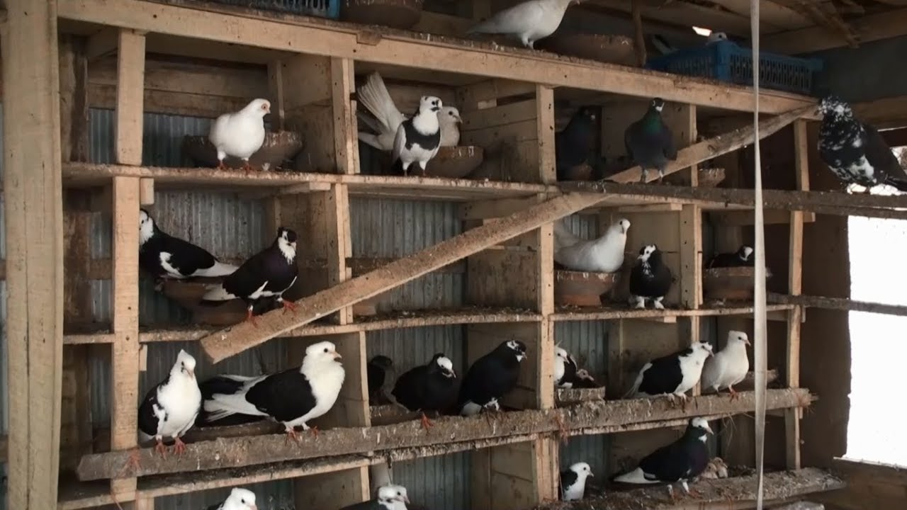 Pigeon Farm - How To Earn Money By Selling Baby Pigeon For ...