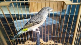 Video Suara Kicau Burung Blackthroat Gacor download MP3, 3GP, MP4, WEBM, AVI, FLV Juli 2018