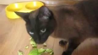 Кот и огурцы Видео прикол про котов  Домашние животные ДОМАШНИЕ ПИТОМЦЫ