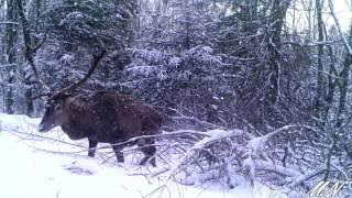 jeleń byk