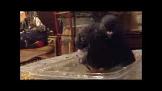 5 month old pigeon takes a bath