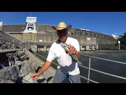 Catfish Dave Quick Clip..Skipjacks At Douglas Dam