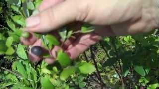 EatTheWeeds: Episode 136: Blueberries and huckleberries