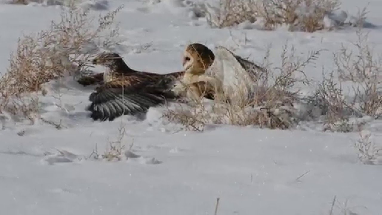 Ferruginous Hawk and Barn Owl Tussle - YouTube