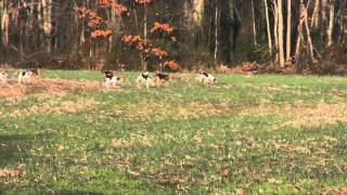 13 couple of PennMarydel foxhounds running only seconds behind thei...