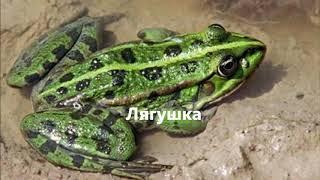 В чем отличие жабы от лягушки? Оказывается, в моём пруду живут лягушки, а не жабки!