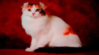 Кошки породы Американский Кёрл