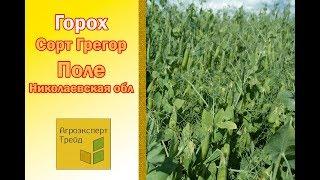 Горох Грегор - поле в Николаевской области Украина