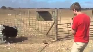 Танцующий страус!...