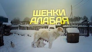 Щенки Алабая // Среднеазиатская овчарка