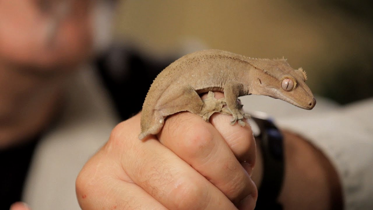 4 Care Tips for Crested Geckos | Pet Reptiles