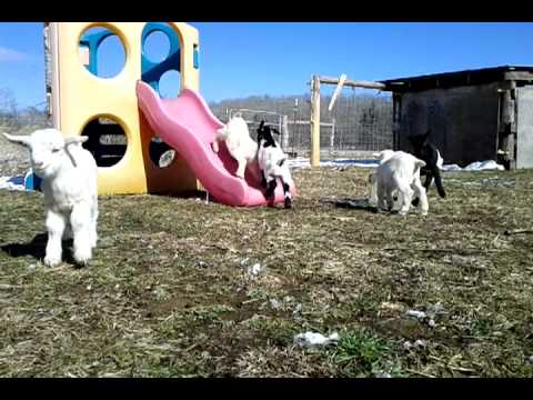 Cute Baby Goats and Kittens Playing - YouTube |Baby Goats Playing Youtube