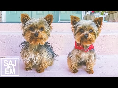 AMAZING TEACUP YORKIE TRANSFORMATION!!