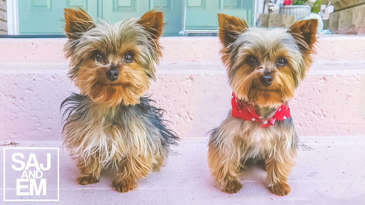 tea cup yorkie images amazing teacup yorkie transformation youtube 6260