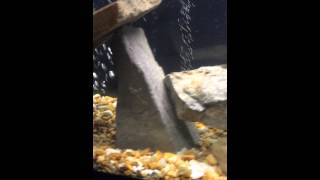 Cichlid tank 55 gal. South American Texas Jack Dempsey Convict Green Terror Jewel