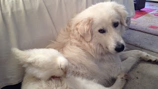 Baby Chicken Cleaning Maremma Dog