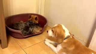 Our Beagle Dolly In Estrus Annoying Din The Yorkshire Terrier