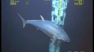 Gambar cover WORLD RECORD FISH!!! 18ft Tuna!  ROV Deepwater Footage Bluefin Yellowfin Redfish