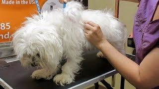 How to Groom A Matted Maltese