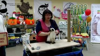 Оценки тайского котика Калиостро экспертами на WCF-рингах юниоров на двух выставках! Тайские кошки