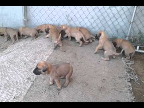 fawn great dane puppies youtube