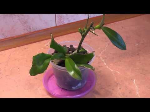 Орхидея, фаленопсис растит детку. Уход