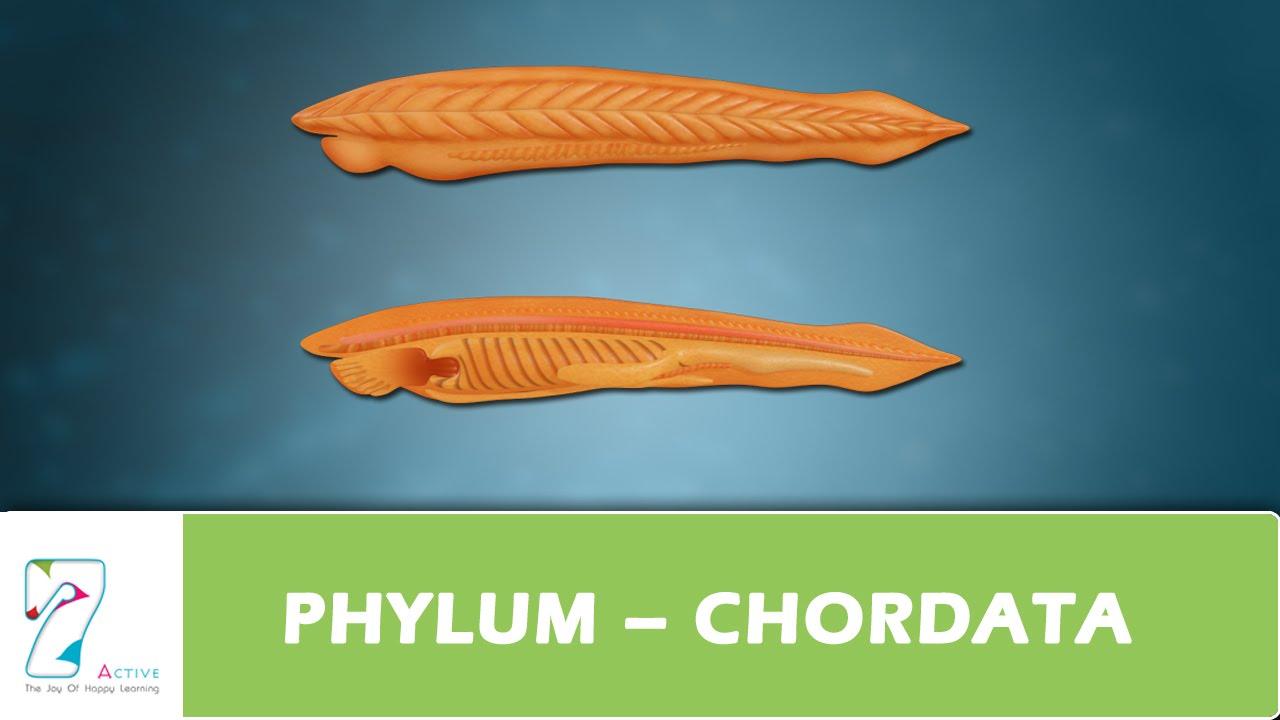 Phylum Chordata Youtube